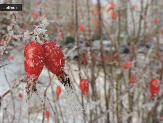 Шиповник зимой