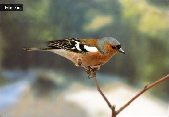 Птица зяблик
