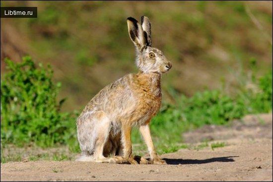 Охота на зайцев без собаки
