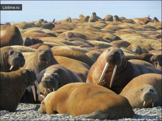 Лежбища моржей