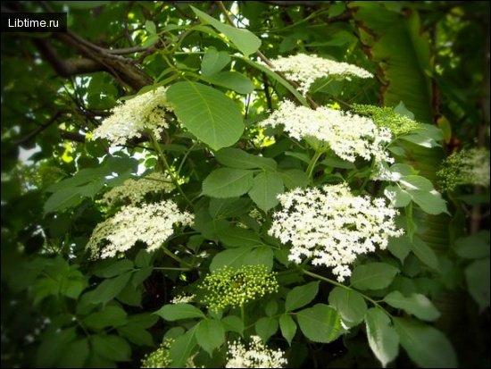 Цветки черной бузины