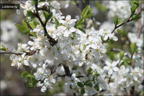 Терен цветет