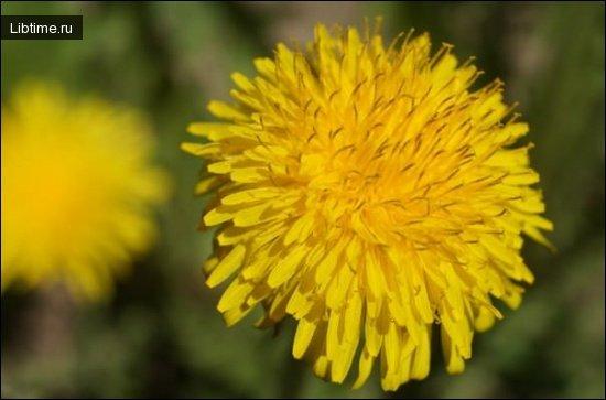 Фото - цветок одуванчика