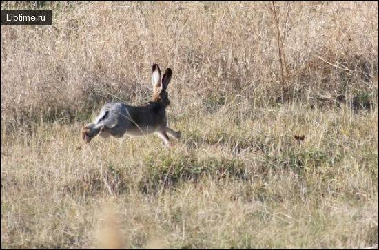 Заяц-русак убегает