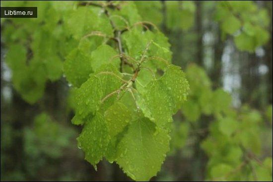 Ольха и ее листья