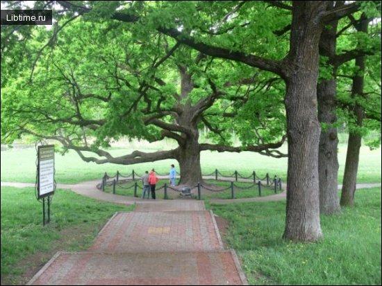 Дуб. Фото дерева