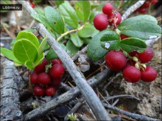 Целебные свойства растений