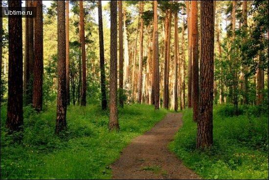 Сосновый лес - сосняк