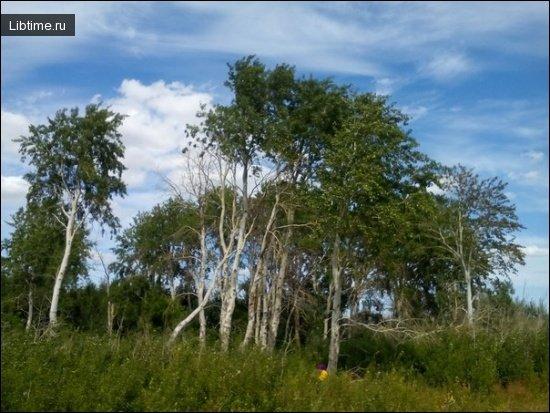 Описание дерева осина