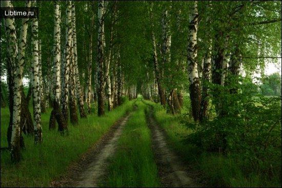 Березовая лесополоса