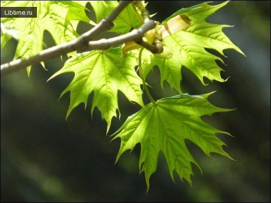 Клен остролистый весной