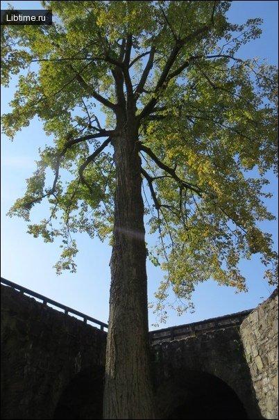 Фото дерева Липа