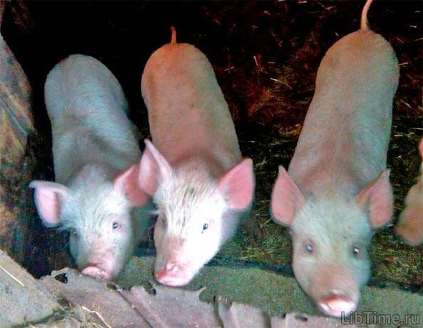 Оглушення свиней електричним струмом
