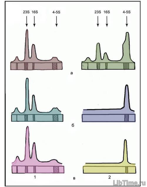 Новосинтезированная РНК
