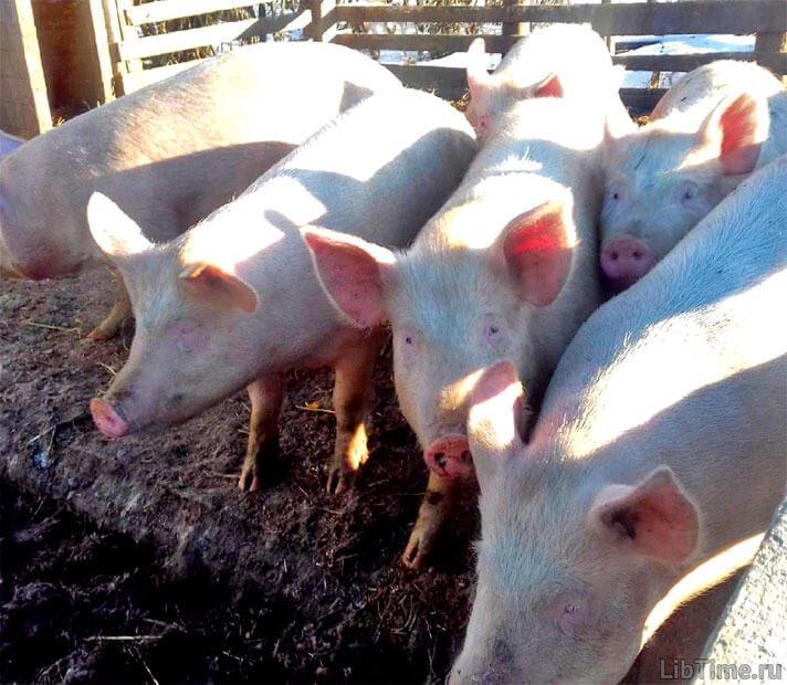 Контроль якості продукції тваринництва