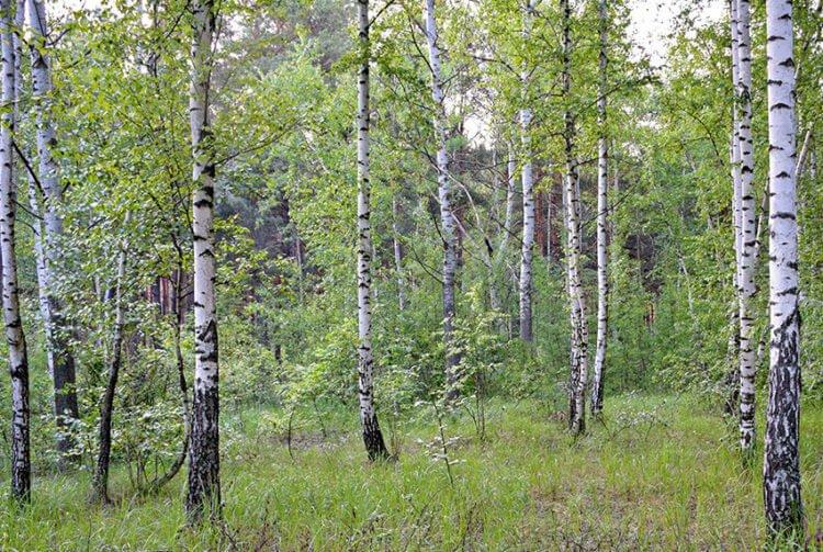 Березняк - лес, где лесообразующей породой является берёза