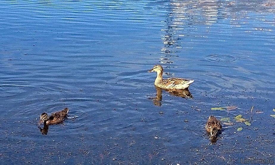Утки в воде