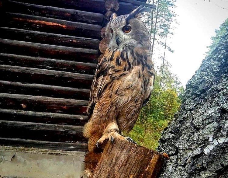 Хищная птица филин