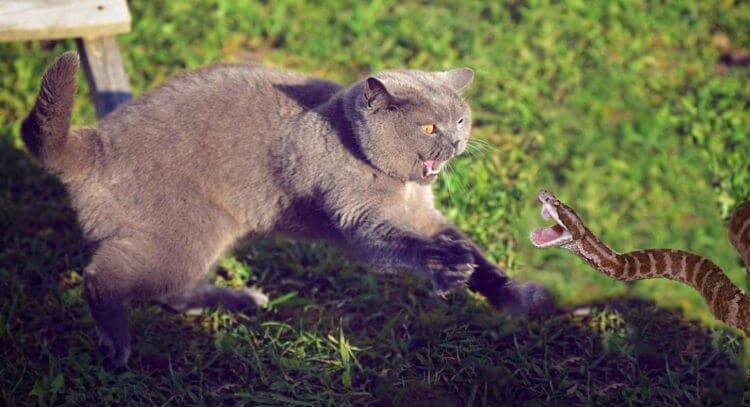 Кот охотится на змею