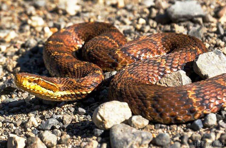Ядовитая змея щитомордник