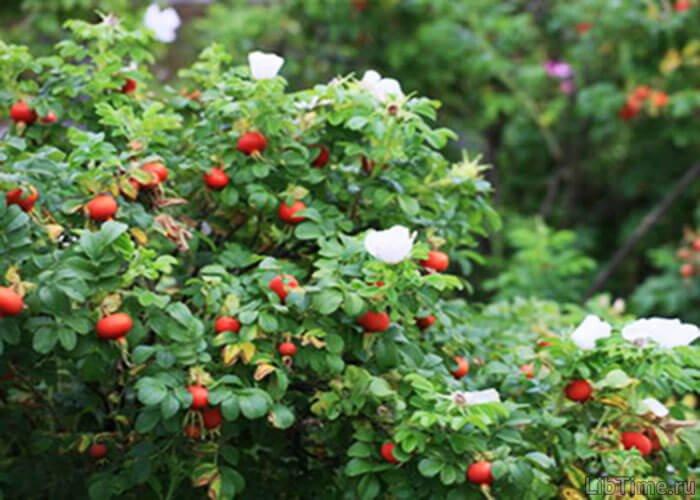 Лекарственное растение шиповник