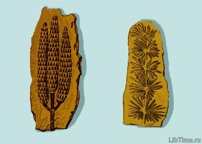 Отпечаток шишек каламита и веточки каламита в породе