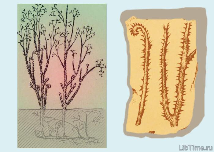 Растение псилофит