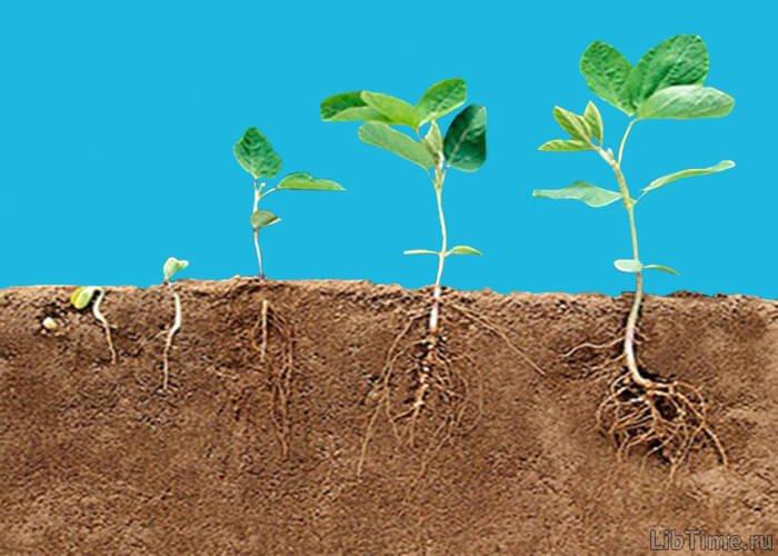 Рост корневой системы