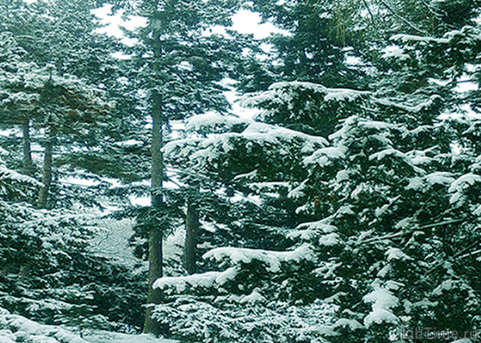 Снег на ветках хвойных деревьев