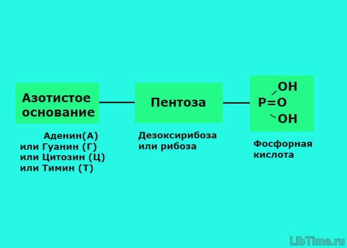 Схема нуклеотида