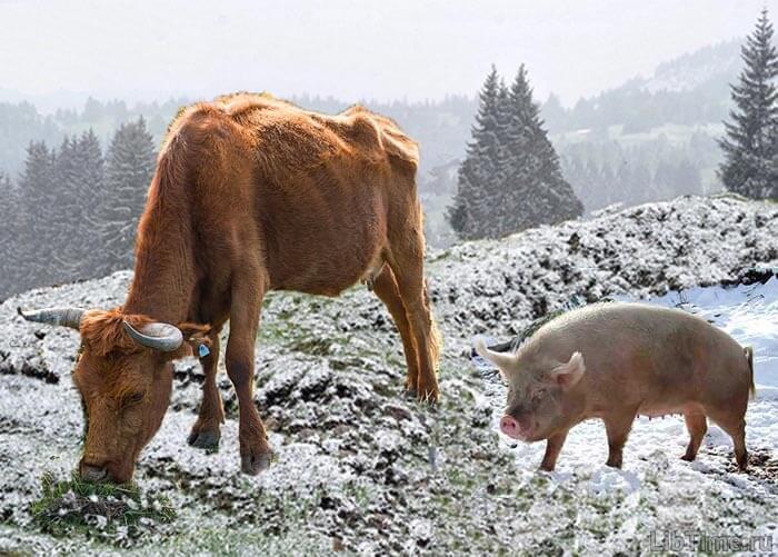 Корова и свинья неразлучны