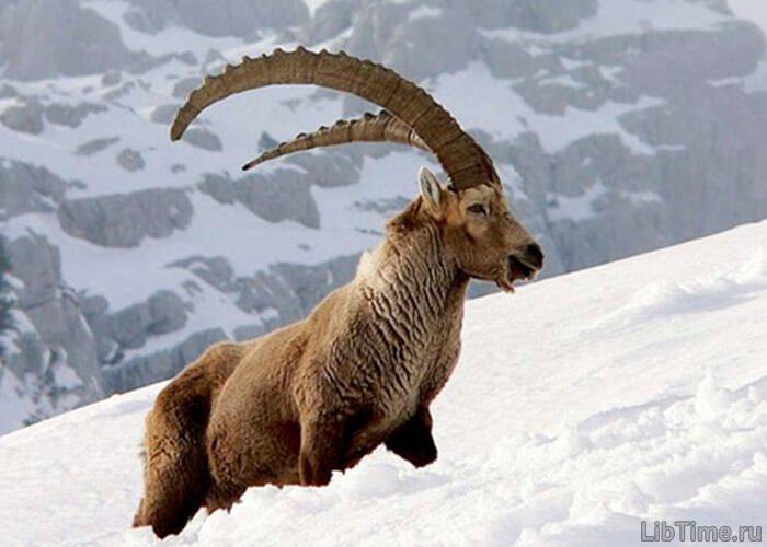 Охота на козлов