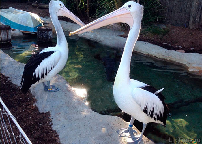 Птица пеликан
