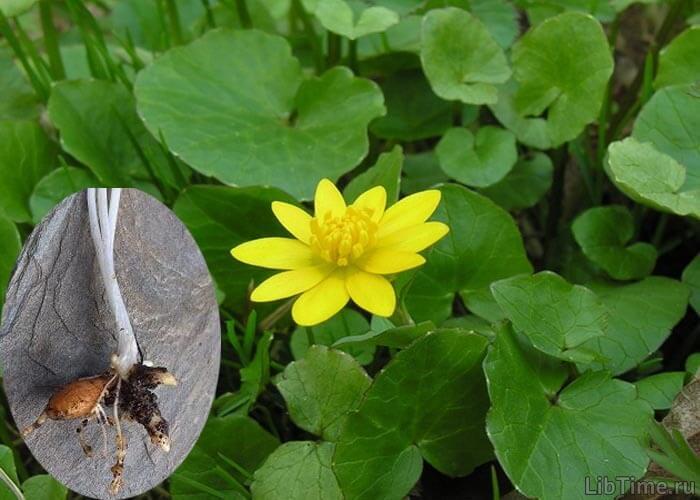Растение чистяк