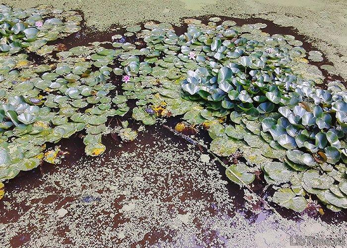 Растения, растущие в пресной воде