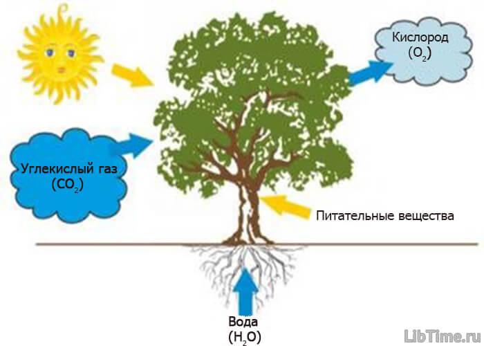 Процесс фотосинтеза