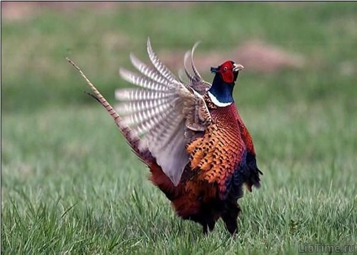 Петух-фазан