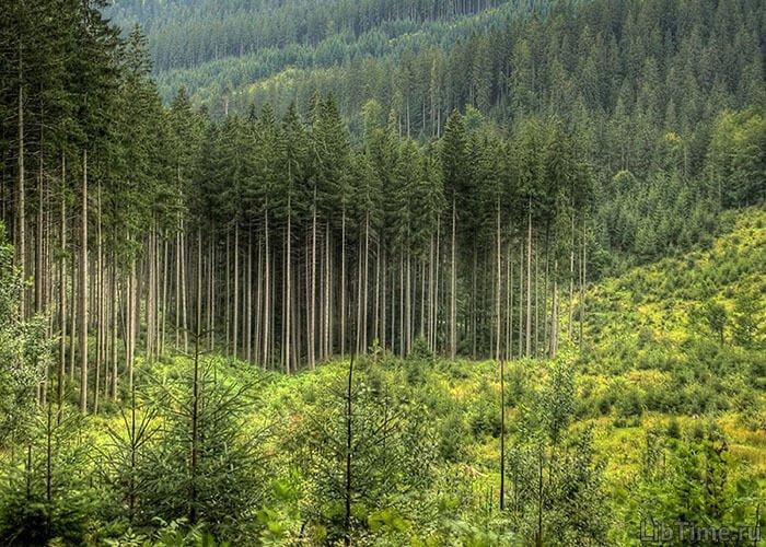 Образование еловых лесов