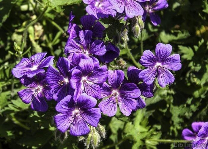 Цветок журавельника
