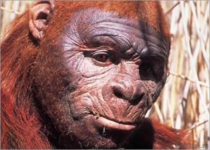 Южная обезьяна - австралопитек