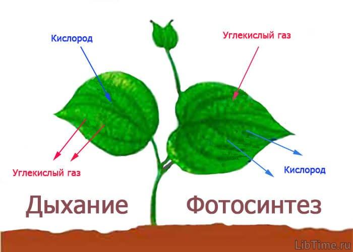 Газообмен в растениях