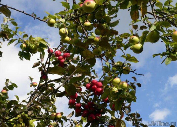 Скрещенные сорта яблонь