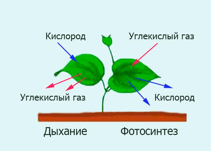 Дыхание и фотосинтез
