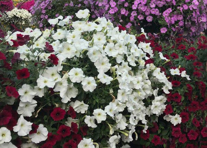 Фитогармоны растений