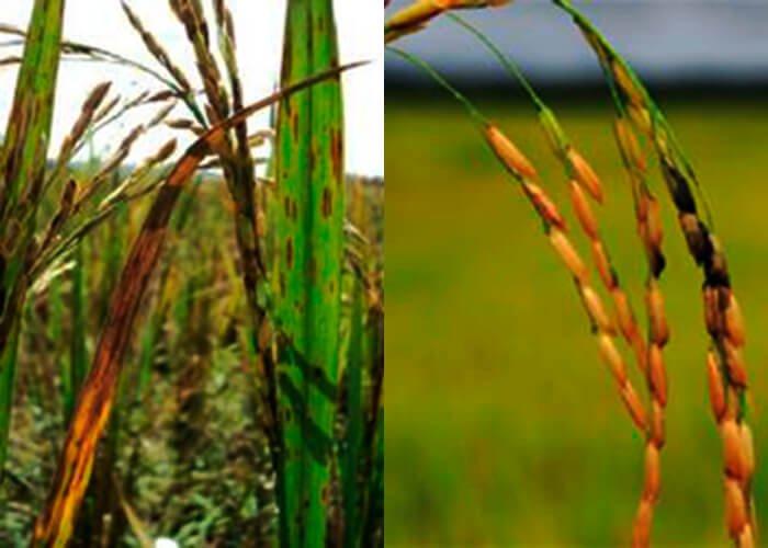 Заболевания риса