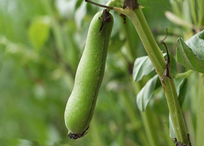 Растение бобы