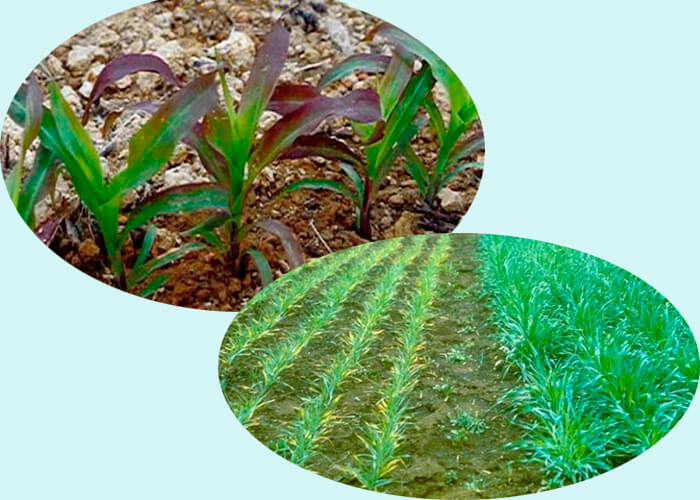 Фосфор в растениях