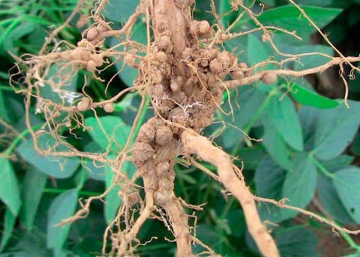 Значение азота в жизни растений
