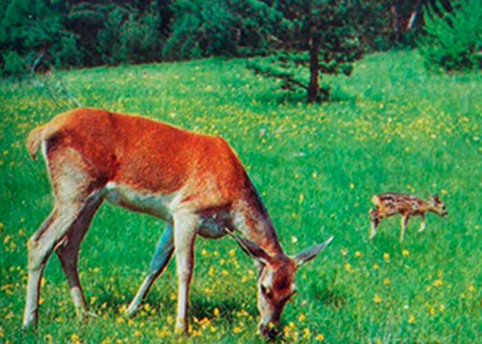 Олени в Украине. Охота на оленей