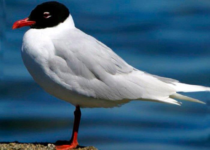 Средиземноморская (черноголовая) чайка